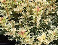 Goshiki Variegated Tea Olive (osmanthus) - Live Plant - Trade Gallon Pot