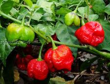 25+ Fresh 2020 Trinidad Scorpion Red Moruga Seeds-R 079