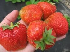 100 Strawberry Semi Frutta Fragaria 20 tipi organici Casa Giardino Pianta Temptation