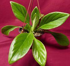 "Primulina Aiko 6"" Pot Gesneriad Plant Chirita African Violet Relative"