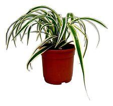Root Bridges Spider Indoor Plant (Pot included)