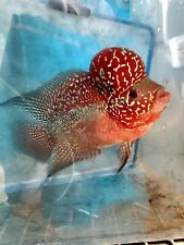 High Quality Super Red Dragon Flowerhorn Male About 4 inches (HQ SRD)