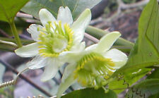 Passiflora Biflora 10 seeds