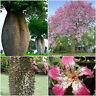 10 semillas Ceiba speciosa = Chorisia speciosa, botella de ceiba falsa  , S