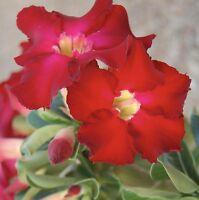 Adenium Obesum ~ Desert Rose ~ RED ~ Live Starter Plant