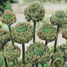 POPPY HEN & CHICK FLOWER SEEDS - MIX - BULK *****