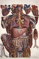 ANATOMY POSTER illustration of human viscera PAULO MASCAGNI scientific 24X36