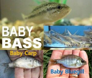 LIVE FISH PACKAGE LARGEMOUTH BASS, BLUEGILL, CHANNEL CATFISH, Hybrid CARPS -pick