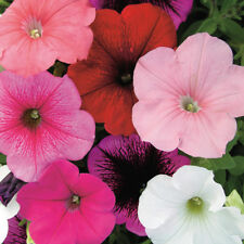 Pack Kings Seed Petunia 'Carnival Mixed' F2 Quality Flower Seeds