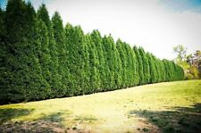 Murray Cypress, 100 trees, upright evergreen plant, plants, 8-10 inches tall