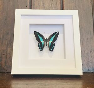 Real Blue Triangle Butterfly, Graphium milon milon. Insect Taxidermy