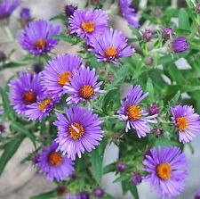 250 Seeds New England Aster Hardy Perennial