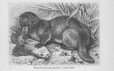 Otterzivette Cynogale bennettii Holzstich von 1891 Schleichkatzen
