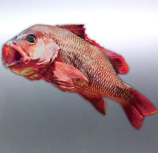Mangrove Jack sticker Real Photo Boat 150×100mm Big red Aussie made fish