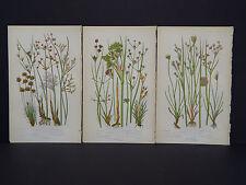 Anne Pratt Botanical, c.1899, Original Color, 3 Prints! English s19