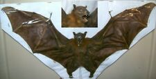Cynopterus brachyotis Complete dried bat Taxidermy REAL