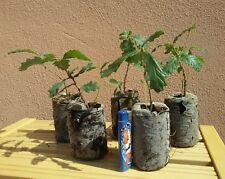 Quercus pubescens, Roverella, 5 piante, albero, 1 anno, boschetto, Shohin e Mame