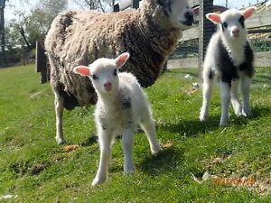 8.3kg raw Shetland sheep fleece. raw and unwashed