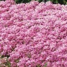 60+ Pink Sweet Fragrant Alyssum / Perennial Flower Seeds