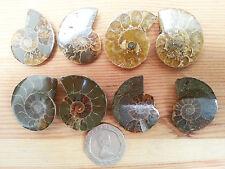 Pair Healing Real Jurassic Ammonite Cleoniceras Ammolite Fossil Complete Chakra