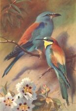 BRITISH BIRDS. Roller; Bee-Eater. THORBURN 1925 old vintage print picture