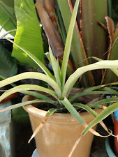 Pineapple plants for sale. $11.99 each