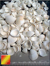 "100 Small White Cup Shells Seashells 3/4-1 1/4"" Beach Wedding Decor Crafts"