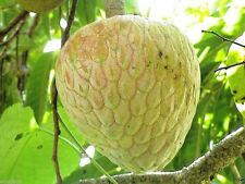 Jamaican Custard Apple Tree (10 Seeds) AKA bullock's Heart,Jamaican Apple !