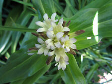 3 GENTIANA TIBETICA Easy Hardy Lily like Gentian Shade TCM medicinal plant