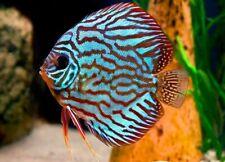 6 X Assorted Discus fish 5cm for Tropical Freshwater Aquarium