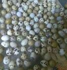 12+ Pharoah Quail Hatching Eggs