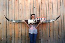 "STEER LONG HORNS MOUNTED 6' 9"" COW BULL SKULL TAXIDERMY LONGHORN LH1698"
