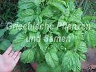 🔥 Basilikum Napoletano grosse Blätter riesige Büsche 100 Samen Kräuter Balkon