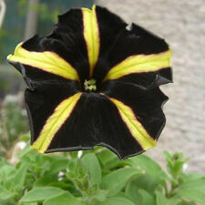 Yellow With Black Playmates Petunia Seeds Petunia Flower 300 Seeds