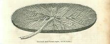Victoria Amazonica Nymphaeaceae Water Lilies GRAVURE ANTIQUE OLD PRINT 1838
