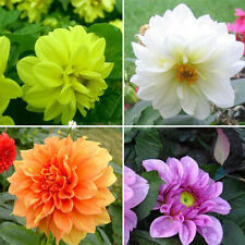 2 Colorful Dahlia Large Bloom Flower Bulbs Perennials Garden Plant Pot