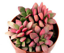 Anacampseros rufescens variegated, cactus seed 20 seeds