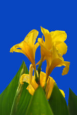 10 Canna Lilly Seed Yellow Flower Stunning Garden Fresh Canna Indica