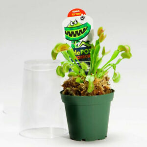 Adult Venus Flytrap Potted (Dionaea muscipula, Fly Trap Plant) Ships Free Daily