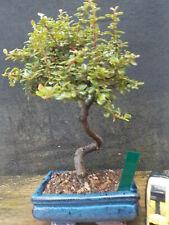 Bonsai coques diverses couleurs artisanale Rectangulaire Ovale VERNISSEE 15-30 cm grand