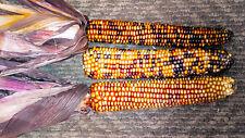 20 ORANGE GLASS GEM CORN Ornamental Edible Zea Mays Vegetable Seeds *Comb S/H