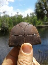 Super Nice Brown Box Turtle Trap Door Florida Fossil