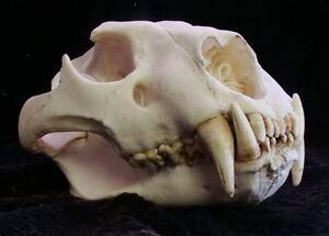 LARGE MALE AFRICAN LION SKULL REPLICA LIFE SIZE,TAXIDERMY,SKULLS,AFRICAN