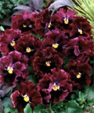NEW! 30+ RUFFLED PANSY FRIZZLE SIZZLE BURGANDY FLOWER SEEDS  / PERENNIAL