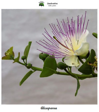 Capparis Spinosa - Caper - 100 Seeds