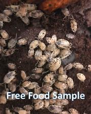 25+ Dairy Cow Isopods , Bio-Active, Vivarium, Terrarium, Porcellio laevis