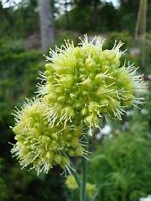 Allium Obliquum  20 x Fresh Seed