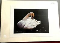 Color Art Print Preening Swan Artist Mike J. Nowak 7.5 x 11