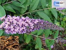 DR T&T Mi Meng Hua (Buddleia Flower Bud) 100g dry herb