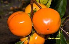 55 Graines Plaqueminier Diospyros kaki , Japanese persimmon tree seeds